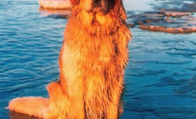 "A beautiful retriever ""General Custer"" In The Water"