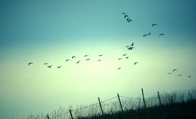 Birds fly in formation above a fence in a field