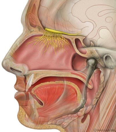 olfactory nerve, human brain