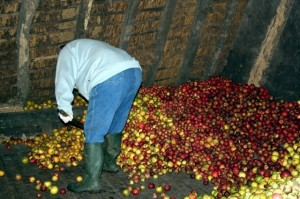 Sorting the apples