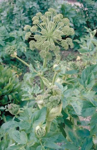 Angelica, growing in garden