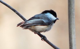 Chickadee Speaks: Reflections on Our Endangered Silence