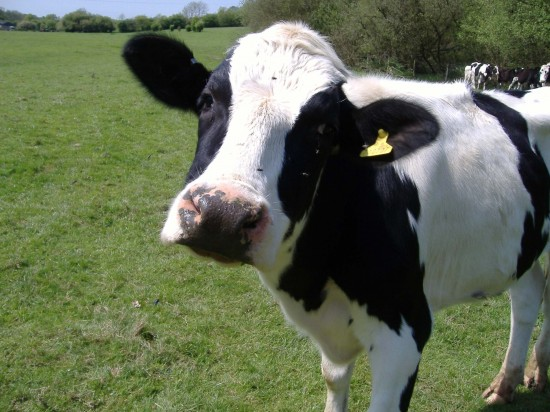 Which has a better life on the factory farm? Dairy cows or meat cows?