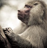 Warrior Baboons Give Peace a Chance