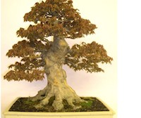Japanese Trident Maple Bonsai By Graham Potter