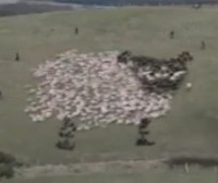 What Bored Sheepherders Do