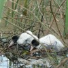White Ibis chicks not observed breeding at Banrock Station for many years (c) Banrock Station