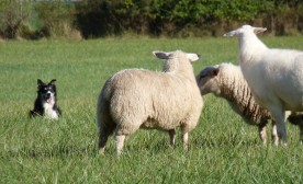 Dancing With Sheep