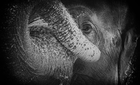 The Dark Side Of The Elephant Business