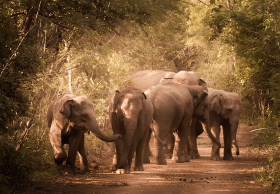 Returning Elephants To The Forest