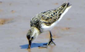 The Semi-Palmated Sandpiper And I