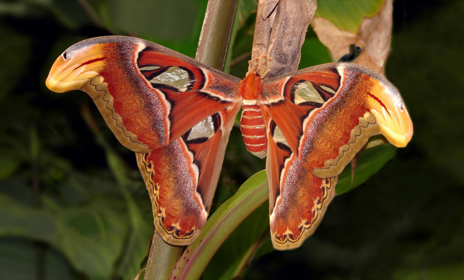 Life As A Human Attacus Atlas The Atlas Moth