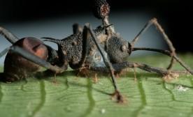 Zombie Ants …
