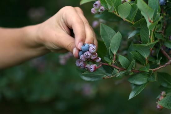 Hand_picking_blueberries