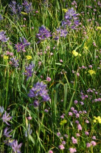 Blue camas, pink sea brush, yellow spring gold