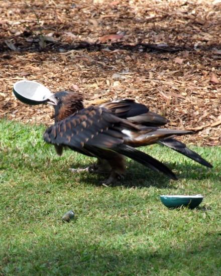 Buzzard breaking open emu egg - Territory Wildlife Park (c) Vincent Ross.