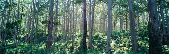 Boranup State Forest, located near Margaret River