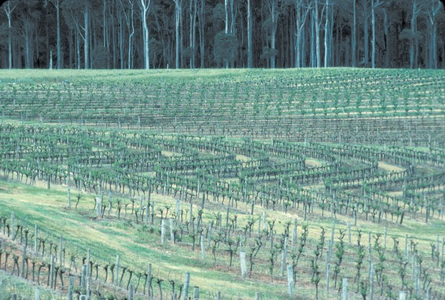 Vineyard in the south west