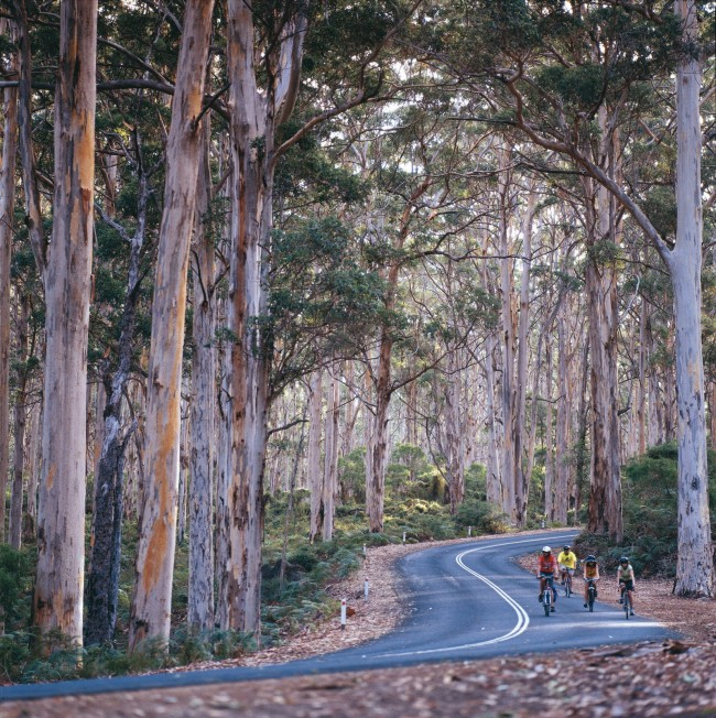 Cyclists on Caves Road in Boranup State Forest, near Margaret River