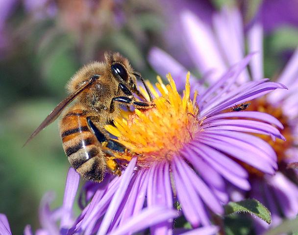 A European honey bee extracts nectar