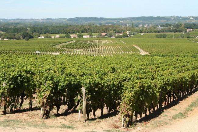 Vineyards of Château d'Yquem in Sauternes.