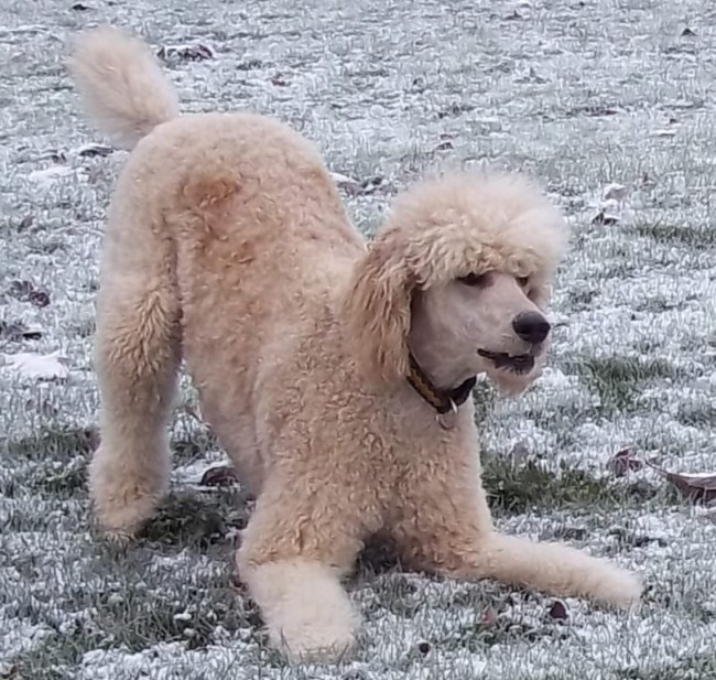 Owning a standard poodle