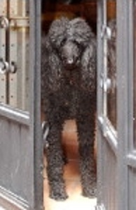 Cassie, our black female Standard Poodle, standing at the door.