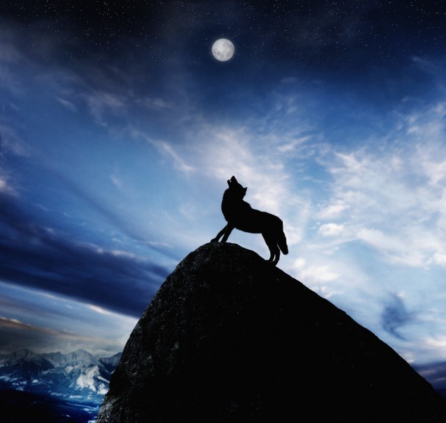 Howling Wolf on Mountain Peak