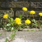512px-Dandelion_ground_level