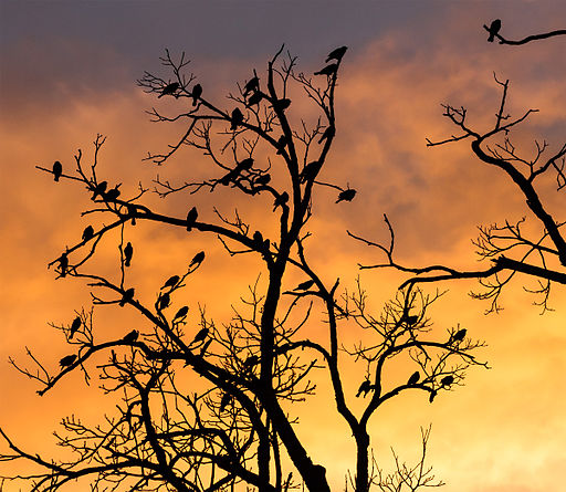 Silhouetted_birds_in_a_tree_