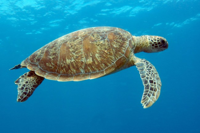 Heron Island QLD - green turtle