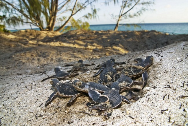 Green turtle hatchlings on beach