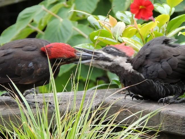 Pileated Woodpecker Mom & Baby