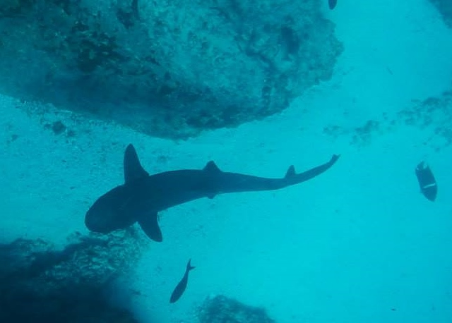 White tip reef shark, the most common one seen by snorkelers and perfectly harmless to humans unless provoked.