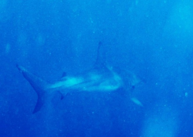 8 foot Galapagos shark who paid us a visit the first day skin diving. There has only been one documented attack on humans by this shark, a non-fatal one. Humans are not its natural prey.