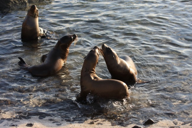 Young Sea Lion pups in their shoreline rockery on the island of Espanola.