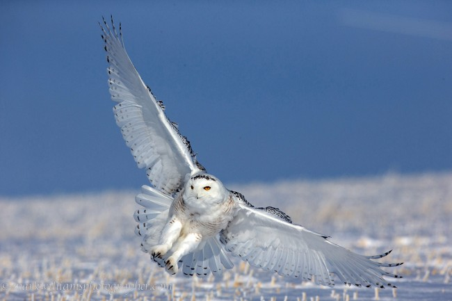 Male Snowy Owl in Flight © Mark Williams