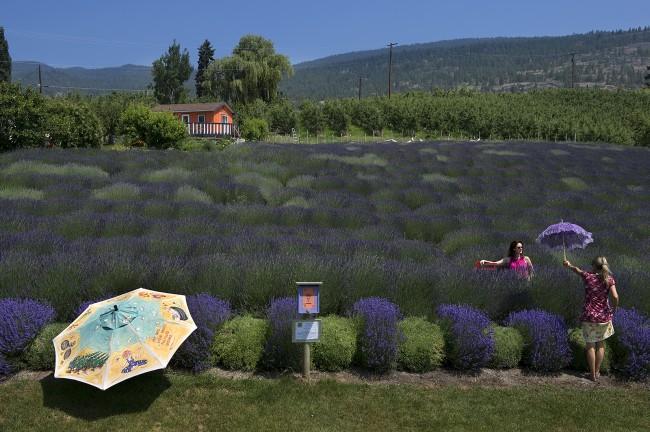 Lavender Field, Okanagan Valley