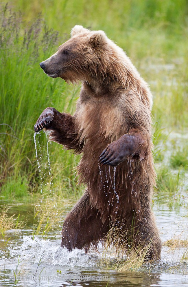 Standing Grizzly Bear © Mark Williams