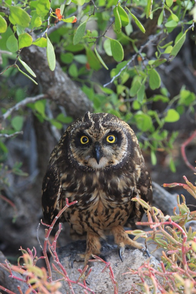 A Short-eared Owl on Islas Plazas.