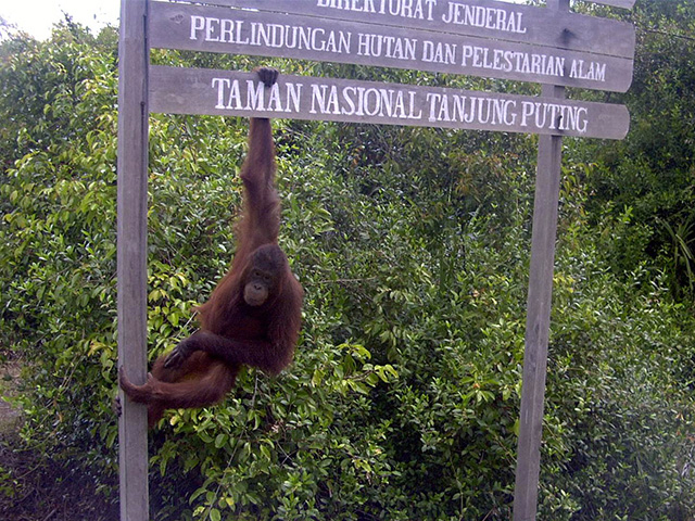 Orangutan in Tanjung Puting National Park