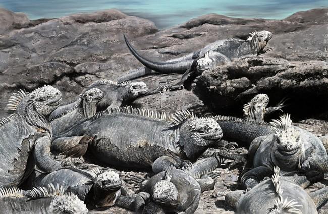 Where's Waldo (Marine Iguanas and Ground Finch- pastel on museum paper
