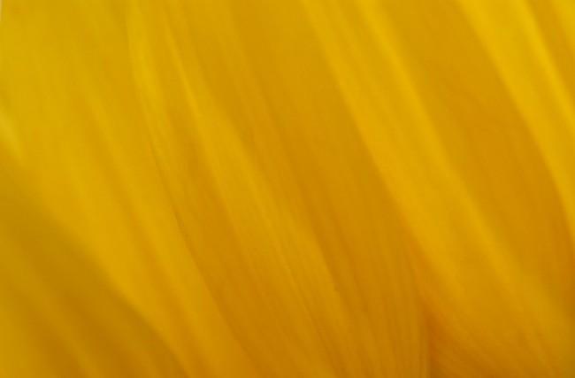 Essence of Yellow Tulip © Kim Manley Ort