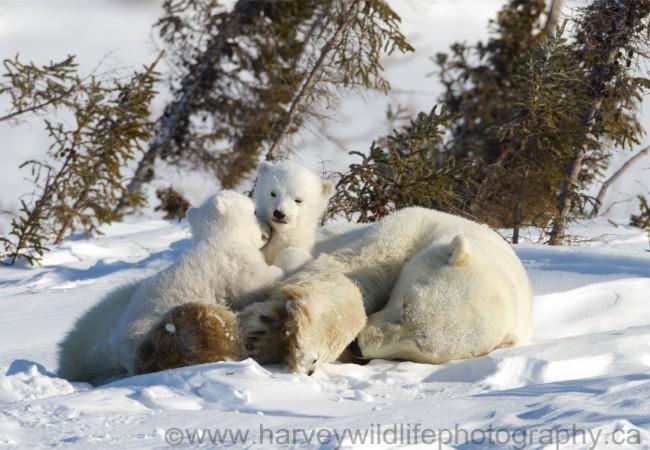 Polar Bear Twins Cuddling © Greg Harvey