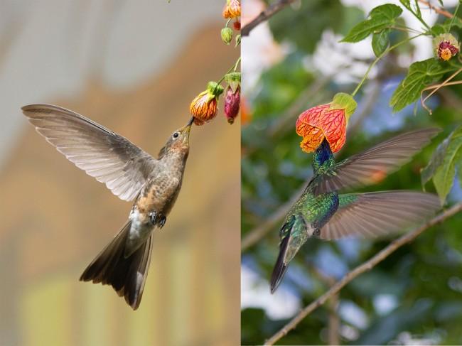 Giant Sparkling Hummingbird