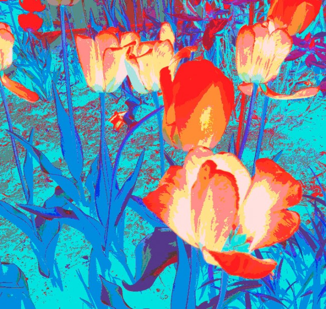 Luminous Tulips © Leah Dockrill
