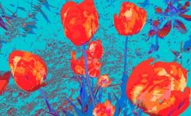 Luminous Tulips