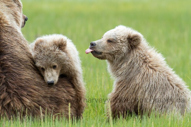 Brown Bear Cub Sticking Out His Tongue © Greg Harvey