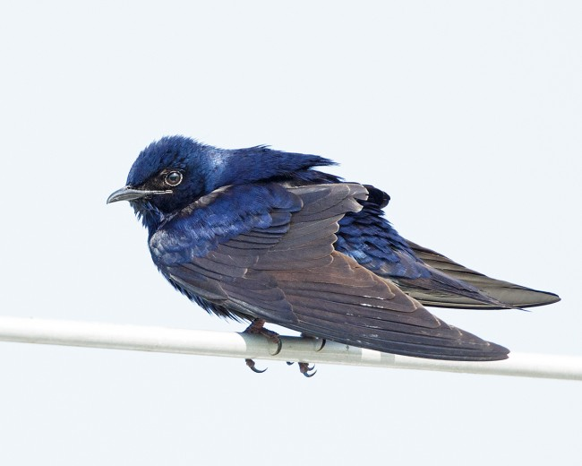 Male Purple Martin on Perch © Laura Meyers