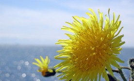1024px-Dandelion_and_Ocean
